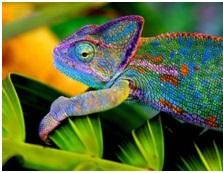 Цветной хамелеон
